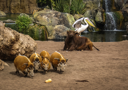 symbiosis: Picture of a bull with a pelican on its back and a herd of boars