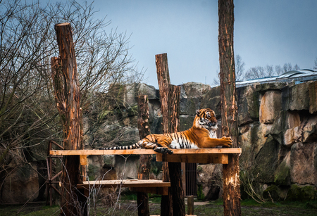 wincing: Picture of a tiger wincing in the Prague zoo Stock Photo