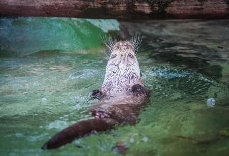 Picture of a cute otter swimming in water on its back Фото со стока