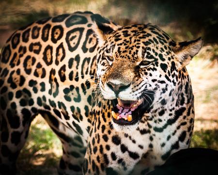 Beautiful and majestic calmly roaring vivid jaguar