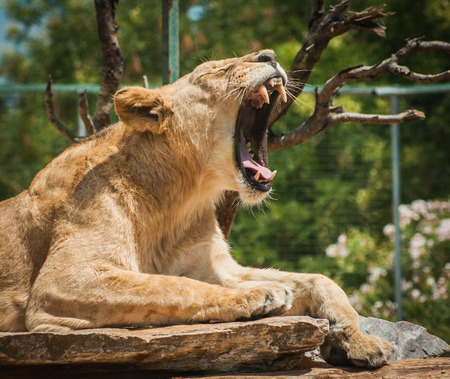 Picture of a beautiful lioness yawning lying on a log