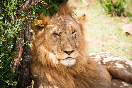 Portrait of a Majestic male lion in Maasai Mara reserve in Kenya relaxing under a tree