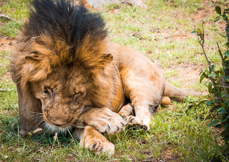 Portrait of a Majestic male lion in Maasai Mara reserve in Kenya relaxing under a tree grooming its paw Stock Photo