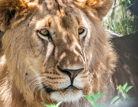 Close portrait of a Majestic male lion in Maasai Mara reserve in Kenya Banque d'images