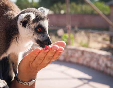 Cute lemur in the arms of a woman licking her hand