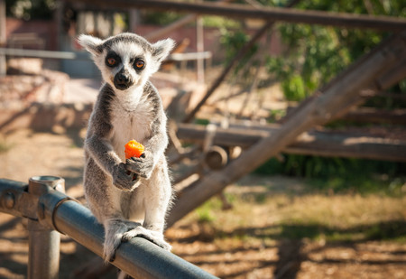 Picture of a cute baby lemur enjoying a carrot Stock Photo