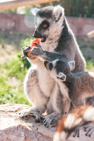Baby lemur trying to steal a carrot from a grown lemur