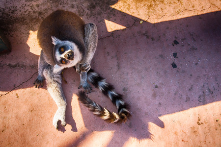 Cute lemur sitting on the ground and scratching itself