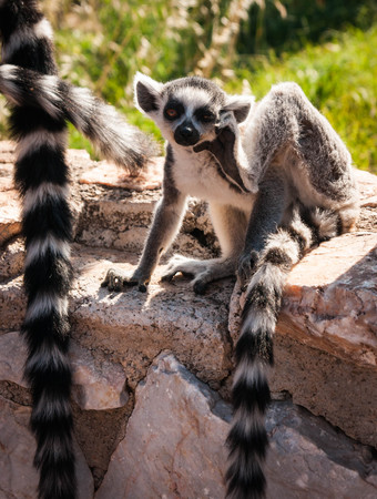 Picture of a cute and funny baby lemur sitting on a log scratching itself
