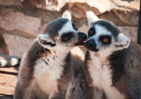 Couple of cute lemurs, one tenderly licking the other on a cheek Archivio Fotografico