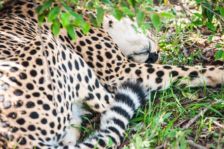 Beautiful cheetah sleeping in bushes in Maasai Mara park. Kenya