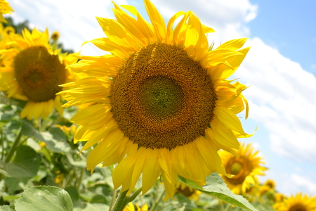 Beautiful yellow sunflower that grows in the field in the summer Stock Photo