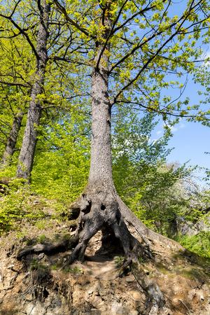 hornbeam: Hornbeam forest in the Carpathians