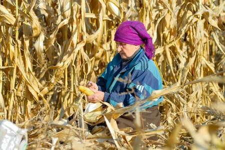 peasant woman harvests corncobs in the field Archivio Fotografico