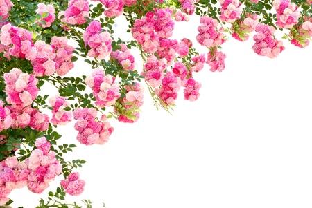 marcos decorados: la foto de las flores hermosas rosas aislados sobre fondo blanco