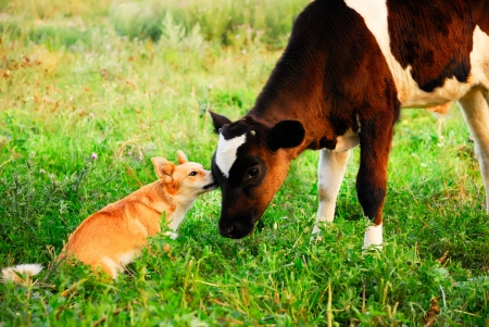 communication, conversation, care between dog and calf Stock Photo - 24747325