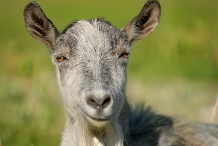 smiling goat, capra, animal, Archivio Fotografico