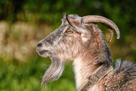 macho cabrio: cabra, capra, retrato de perfil, s�mbolo del zodiaco chino