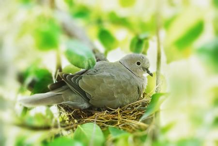 pigeon egg: dove, bird in the family nest, home