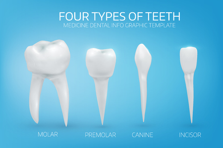 Anatomically realistic illustration of the types of human teeth on blue background. Vector medical background. Illustration