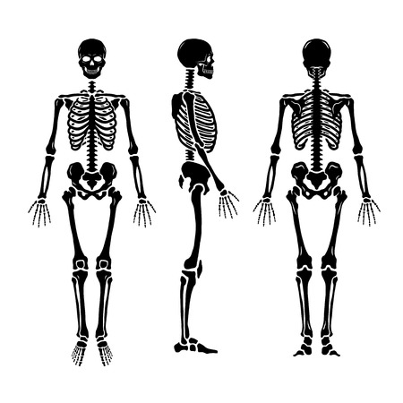 Anatomical human skeleton, in three positions. Illustration