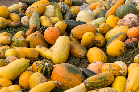 Pumpkins are ripe and lie on the grass Stock Photo