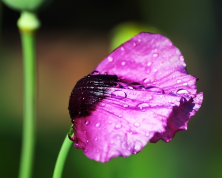 flattened: Poppy flower with drops of water, flattened after the rain Stock Photo