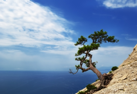 rooted: Lonely pine tree on a sloping rock above the blue sea in the Crimea, Ukraine