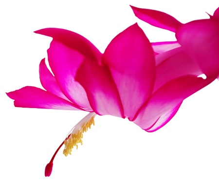 Flower schlumbergera on a white background Stock Photo - 21203847
