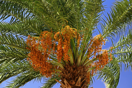 The top of the date palm tree with ripening fruit on a hot summer day in Egypt photo