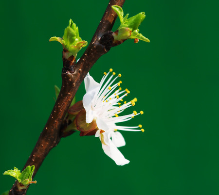 sprig: Sprig apricots with a beautiful and delicate white flower on a green background closeup