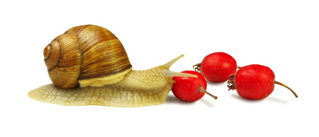 grape snail: Grape snail is located near the wild rose berries and touch one of them isolated on white background Stock Photo