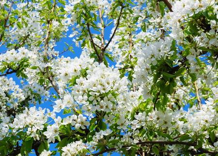 luxuriant: The luxuriant flowering pear tree with a lot of beautiful white gentle flowers Stock Photo