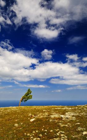 lone pine: Beautiful summer landscape with clouds - lone pine grows on the plateau of AI-Petri mountain, Crimea