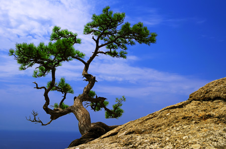 rooted: Beautiful landscape - lonely pine tree on a sloping rock above the blue sea in the Crimea Stock Photo