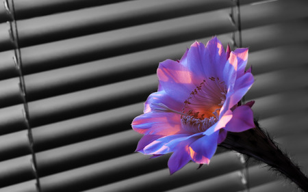discolored: Beautiful flower of the cactus at dawn, standing at the window in front covered on the background blindsBeautiful flower of the cactus at dawn, on the background of dark discolored blinds