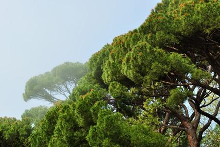 alupka: Grove Italian pines foggy early morning, growing in Alupka Park - monument of landscape art, Crimea, Alupka