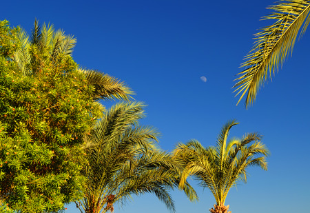 hot date: Group of date palm trees against a blue cloudless sky with the Moon, on a hot summer evening at the resort in Hurghada, Egypt