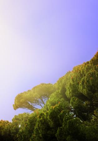 alupka: Italian pines illuminated by the sunlight early misty morning, growing in Alupka Park - monument of landscape art, Crimea, Alupka