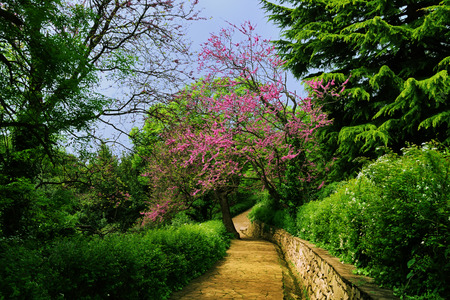 Beautiful spring landscape - Vorontsov park with lush greenery and flowering trees, and paved walkway stretching into the distance, Alupka, Crimea