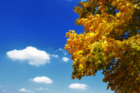 Yellow maple leaves swaying in the wind on the background of blue sky