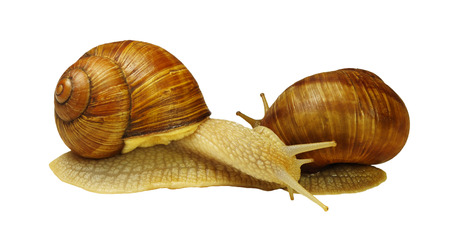 Two grape snails in contact with each other, isolated on white background