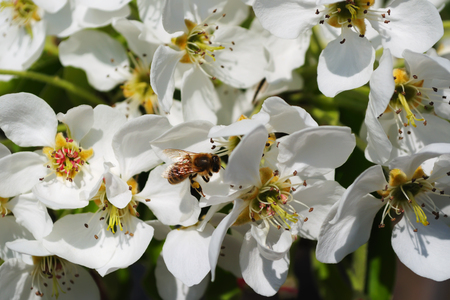 Blossoming tree of pear and sitting on flowers a bee collecting pollen on a bright sunny spring day