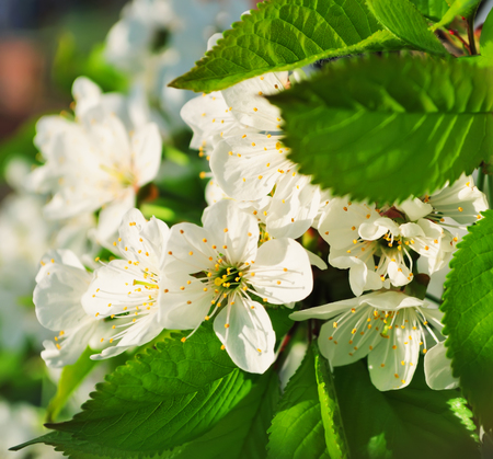 Branch of delicate white flowers of a cherry closeup