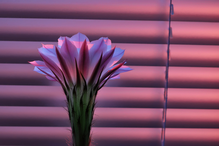 Beautiful pink cactus flower at dawn, standing in front of the closed window blinds Фото со стока