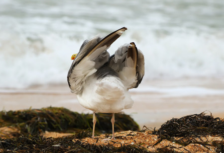 Rear view of the lonely gull standing on the beach among the seaweed, and raises the wings, the sea of Azov