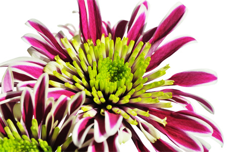 Chrysanthemum with red petals and a green center closeup on a white background Фото со стока