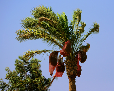 Date palm with hanging on her nets to harvest ripe dates in windy day, Hurghada, Egypt