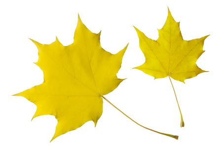 Autumn leaves of the maple isolated on white background