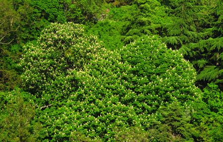 Lush vegetation - flowering chestnut trees in the park in spring, Crimea Фото со стока